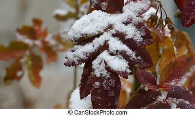 Snow on yellow leaves of tree late autumn the first snow...