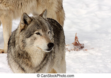 Wolves - A view of two wolves leaving carcass remains