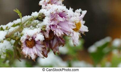 frozen flowers nature first snow fall - frozen flowers...