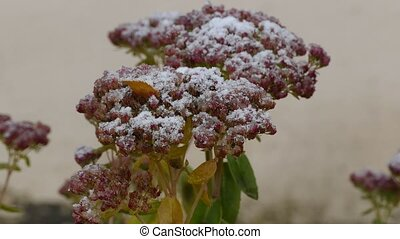 frozen red flowers nature first snow fall - frozen red...