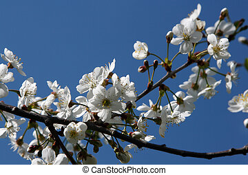 Cherry Blossoms - White cherry blossoms against blue sky...