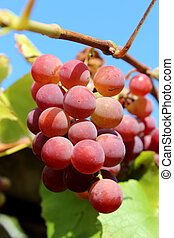 cluster of pink grapes - big cluster of pink and ripe grapes