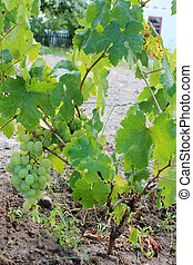 growth of grapes and big cluster of green and ripe branch