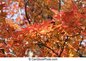 Red leaves over the sky, kau tam tso, Hong Kong - Red leaves...