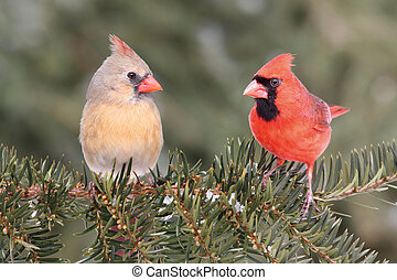 Pair of Northern Cardinals (cardinalis) on a branch with...