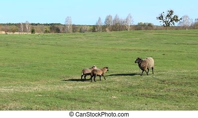 sheep grazing on the grass - sheep grazing on the green...
