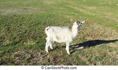 Goat kid on the pasture - Goat kid on the grazing green...