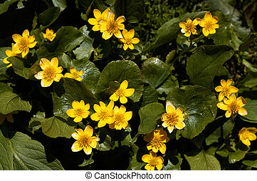 Caltha palustris - Siberian willd growing yellow flower...