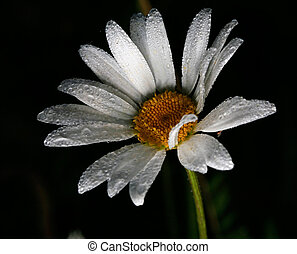 Daisy with dew drops on black background