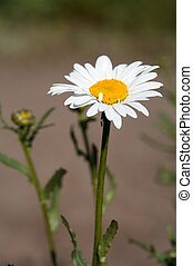 Ox-eye daisy - Head of ox-eye daisy flower on lens-blured...