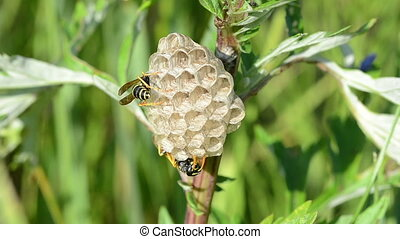 Wasp on the nest.Part 2. - Two paper wasp nest close up....