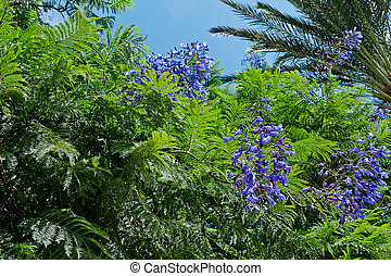 Jacaranda tree with bunches of blue flowers
