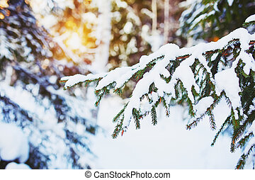 Cold winter day in the snowy winter forest Spruce tree under...