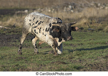 Mean Bull - A large Bull in a pasture