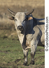 Mean Bull - A large mean Rodeo Bull in a pasture