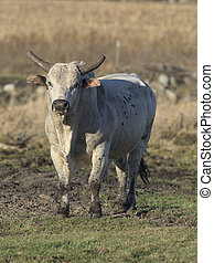 Rodeo Bull - A large mean Rodeo Bull in a pasture