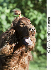 Cute Irish Setter - Funny pigtailed red Irish Setter