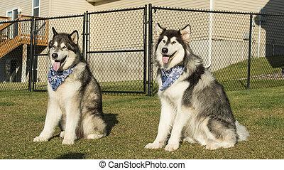 Alaskan Malamute - A pair of Alaskan Malamute Dogs