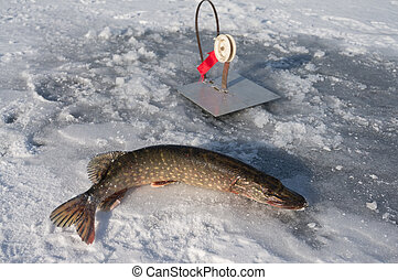 Pike - pike caught on winter fishing rod in the winter...