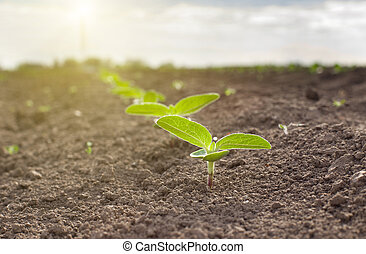 Sprouts on dry soil - Close up of sunflower sprouts growing...