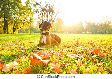Boxer Dog in the Autumn forest - A boxer dog relaxing the...