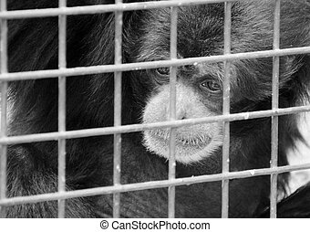 Monkey in cage - Sad lonely monkey in cage. In B/W