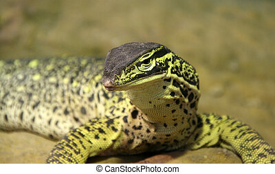 Lizard - Close-up of big green lizard