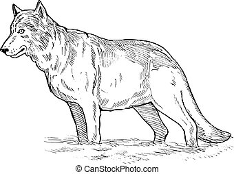 drawing of a grey wolf - hand sketch drawing illustration of...