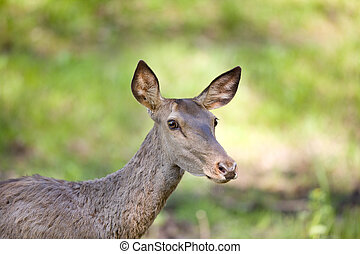 Hind portrait - Portrait of agraid red deer hind on meadow...
