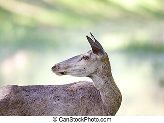 Hind portrait - Portrait of afraid red deer hind looking...