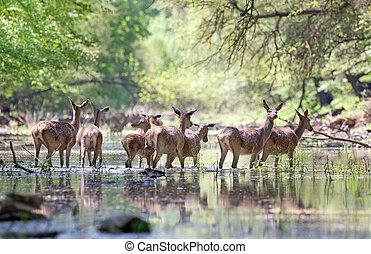 Herd of red deer hinds