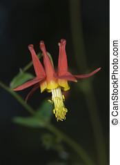 Red Columbine (Aguilegia formosa), , Gabriola, British...