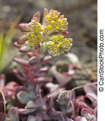 Broadleaf Stonecrop - Cape Blanco (sedum...