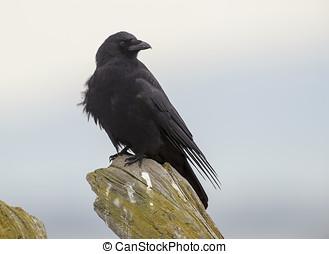 Northwestern Crow (Corvus caurinus), Parksville, British...