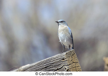 Mountain Bluebird Sialia currucoides, Sand Wash Basin,...