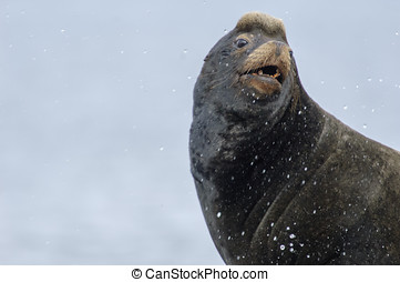 California Sea Lion (Zalophus californianus), Fanny Bay ,...