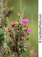 Thymus vulgaris \'Silver Posie\' - Close up of Thymus...