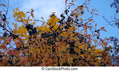 Blackthorn Shrub - Blackthorn shrub in autumn and blue sky