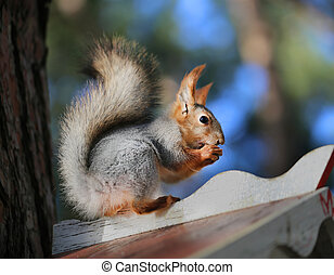 Beautiful portrait of a squirrel is photographed close-up