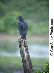 Black Vulture (Coragyps atratus), The Pantanal, Mato Grosso,...