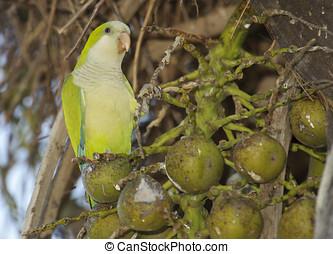 Monk Parakeet (Myiopsitta monachus) at nest