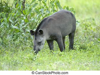 Brazilian Tapir (Tapirus terrestris) AKA South American...