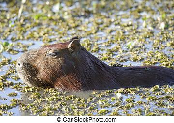 Capybara (Hydrochoerus hydrochaeris), The Pantanal, Mato...
