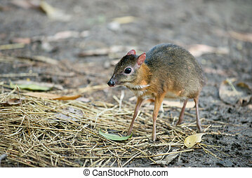lesser mouse deer scientific name Tragulus kanchil