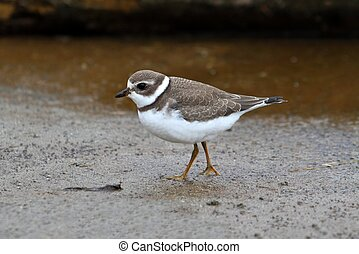 Semipalmated Plover Charadrius semipalmatus by the Pacific...
