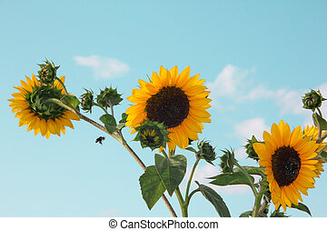 Sunflowers against blue sky