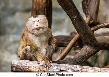 Southern pig tailed macaque - at an elevated plateau there...