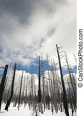 Fire-scarred trees in Yellowstone - Aftermath of forest fire...