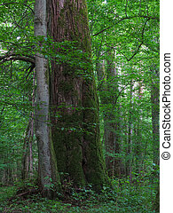 Monumental linden tree of Bialowieza Forest deciduous stand...