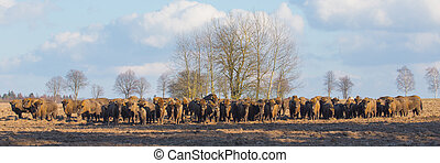 European Bison herd in winter sunny day - European Bison...